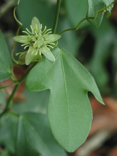Passiflora Suberosa  Corky