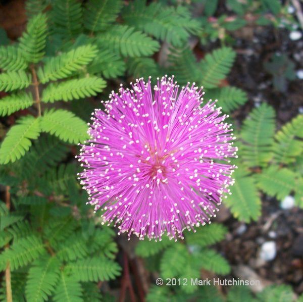 Sunshine Mimosa strigillosa live plant cutting ground cover pink flowers bundle