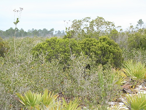 resources/native-plant-communities/scrub_Archbold.jpg